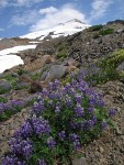 Broadleaf Lupines on glacial moraine w/ Mt. Baker summit bkgnd