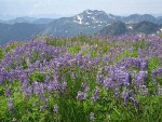 Broadleaf Lupines among Sedges w/ Park Butte & Dock Butte bkgnd