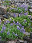 Broadleaf Lupines on glacial moraine w/ Partridgefoot