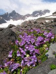 Davidson's Penstemon on glacial moraine w/ Black Buttes & Deming Glacier bkgnd