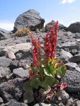 Mountain Sorrel on glacial moraine