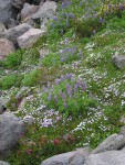 Broadleaf Lupines, Spreading Phlox, Pink Mountain-heather