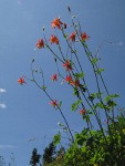 Red Columbine against blue sky