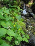 Stream Violets beside small stream w/ waterfall