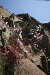 Richardson's Penstemon on basalt cliff