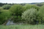 Onecolor Willow (dark green left), Geyer Willow (gray), Lemmon's Willow (right) behind small beaver dam