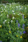 Western Anemone, Sitka Valerian, Mountain Arnica, Broadleaf Lupines, American Bistort, Pink Mountain-heather in subalpine meadow
