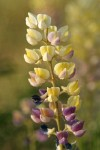 Longspur Lupine blossoms