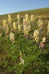 Longspur Lupines