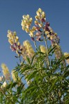 Longspur Lupines low angle against blue sky