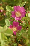 Clustered Wild Rose blossoms & foliage