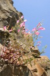 Richardson's Penstemon on basalt cliff against blue sky