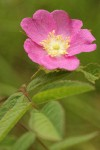 Clustered Wild Rose blossom & foliage detail