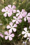 Sticky Phlox blossoms