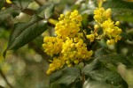 Shining Oregon Grape blossoms & foliage
