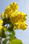 Shining Oregon Grape blossoms & foliage low angle against sky