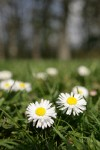 English Daisies in lawn, low angle w/ trees soft focus bkgnd