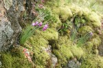 Grass Widows against lichen-covered rock w/ Pacific Sedum among mosses