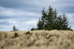 Yellow Ryegrass (American Dunegrass) & Douglas-firs on stabilized dune