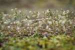 Spring Whitlow-grass w/ raindrops