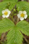 Woodland Strawberry blossoms & foliage detail