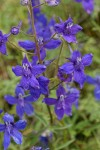 Nuttall's Larkspur blossoms