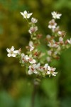 Rusty-haired Saxifrage blossoms
