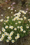 Cut-leaved Daisies w/ Olympic Onions