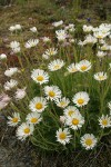Cut-leaved Daisies