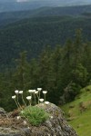 Cut-leaved Daisies on rock point overlooking forested valley