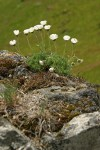 Cut-leaved Daisies on rock point