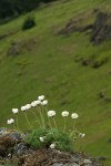 Cut-leaved Daisies on rock point overlooking Horse Rock Ridge
