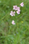 Meadow Checker Mallow