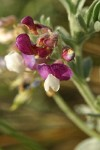 Silky Beach Pea blossoms detail