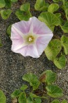 Beach Morning Glory blossom & foliage detail