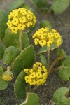 Yellow Sand Verbena blossoms & foliage