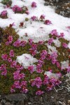 Douglasia blooming through light snow cover