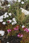 Douglasia & Spreading Phlox blooming through melting snow cover