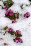 Douglasia blooming through melting snow cover