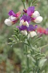 Silky Beach Pea blossoms & foliage