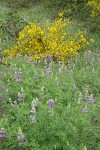 Streambank Lupines w/ Scots Broom bkgd
