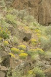 Yellow Desert Daisies among basalt boulders, Bluebunch Wheatgrass, Balsamroot