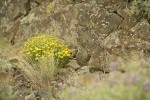 Yellow Desert Daisies, Bluebunch Wheatgrass at base of basalt cliff