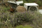 Purple Sage, Yarrow w/ junked washing machines & other trash bkgnd