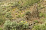 Balsamroot, Sagebrush among basalt boulders w/ Yellow Desert Daisies,  Bluebunch Wheatgrass