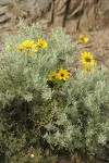 Balsamroot blossoms among Sagebrush