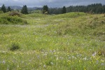 Camas & Western Buttercups on mounded prairie