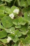 Burrowing Clover blossoms & foliage
