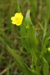 Water Plantain Buttercup blossom & foliage detail