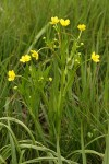 Water Plantain Buttercup